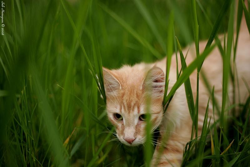 chat tigré roux clair dans des herbes hautes vertes